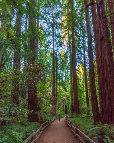 Tree Forest Plant Land Direction WoodLand The Way Forward Growth Beauty In Nature Nature Footpath Tranquility Tree Trunk One Person Non-urban Scene Trunk Day Green Color Road Tranquil Scene Diminishing Perspective Outdoors Redwoods