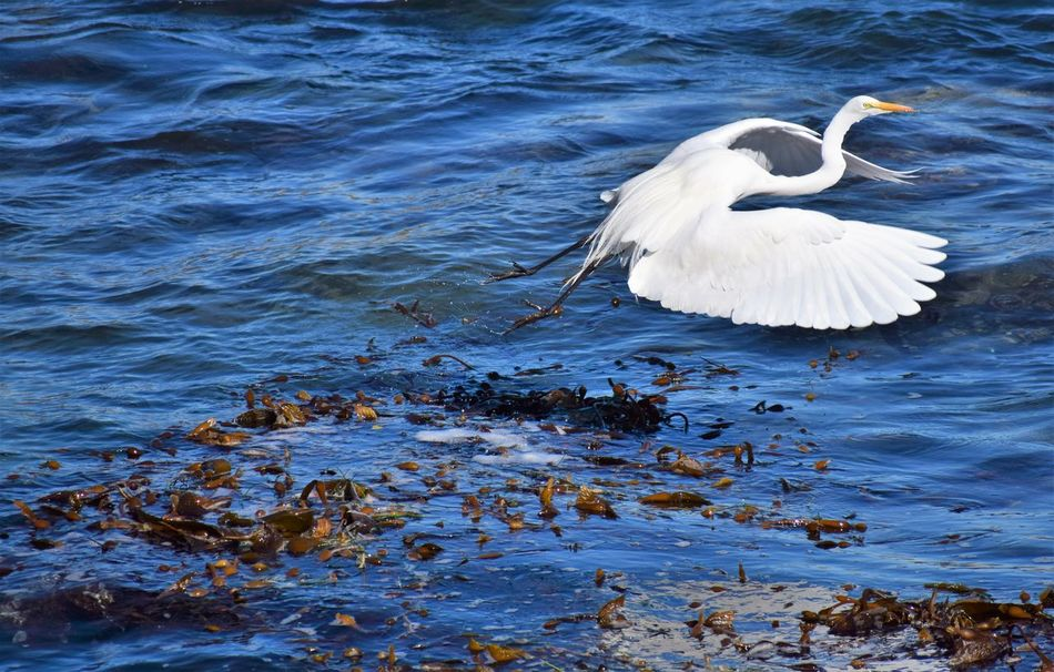 Flying Again Animal Themes Animal Wildlife Animals In The Wild Beauty In Nature Bird Bird In Flight Bird Photography Birds Of EyeEm  California California Wildlife Day Flying Flying Heron Graceful Great White Heron Heron Nature Nature Photography No People One Animal Outdoors Pacific Ocean Water White Bird White Color