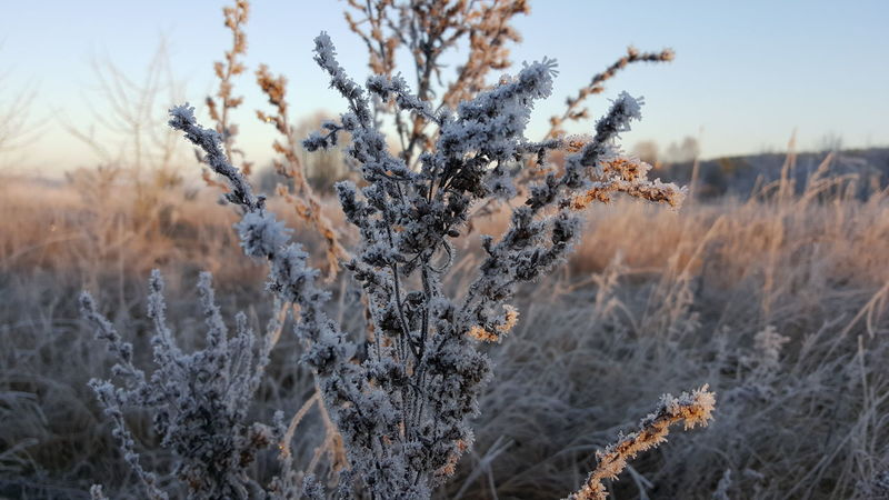 Beauty In Nature Close Up Plant Close-up Day Dried Plant Field Flower Growth Hoar Frost Hoarfrost Hoarfrost O Hoarfrost On Pl Hoarfrost On Plant Hoarfrost On The Tree Nature No People Outdoors Plant Pussy Willow Sky Tranquil Scene Tranquility Tree White Frost White Frost.