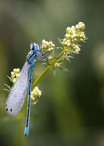 Damselfly Lithuania Lithuania Nature Animal Animal Themes Animals In The Wild Beauty In Nature Close-up Damselfly Day Entomology Flower Flower Head Flowers Fragility Insect Macro Nature No People Odonata One Animal Outdoors Plant
