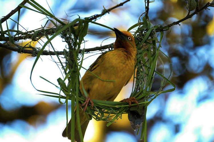 Animal Themes Animal Wildlife Animals In The Wild Bird Birds Branch Close-up Day Homebuilders Low Angle View Nature Nest Nest Building No People Outdoors Tree Weave Weaver Bird Yellow Yellow Finch
