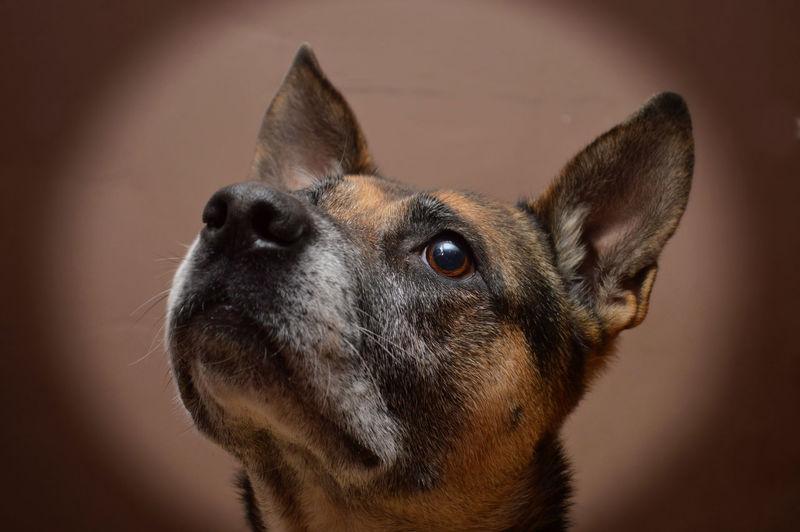 Animal Head  Animal Themes Black And Tan Dog Dog Face Kruising German Sheperd X American Stafford One Animal Portrait
