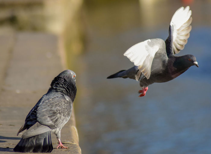 Bird Animal Themes Animal Vertebrate Animals In The Wild Animal Wildlife Group Of Animals Two Animals Flying Focus On Foreground Day Nature Water Spread Wings No People Outdoors Pigeon Zoology Close-up Seagull My Best Photo British Culture Exploring Fun
