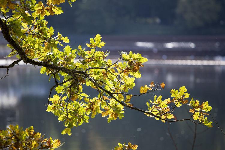 Nature Maple