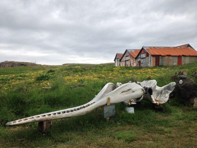 Skeleton in Iceland Animal Bones Animal Skeleton Animal Themes Artist Bones Collectibles Day Grass House Iceland Iceland_collection Landscape Nature Outdoors Scary Skeleton Sky Strange Things