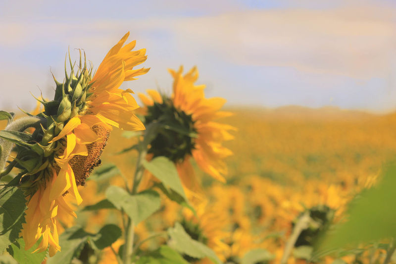 Harford County Jarrettsville Maryland Paint The Town Yellow Agriculture Beauty In Nature Blooming Crop  Field Flower Flower Head Nature Plant Rural Scene Sunflower Yellow Outdoors Lost In The Landscape