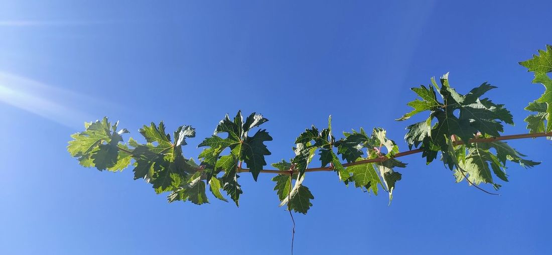 Low angle view of leaves against blue sky