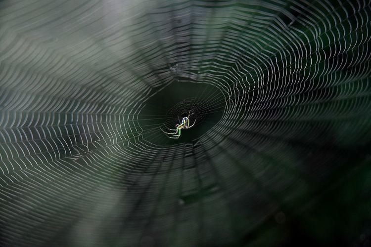 Green Venusta Orchard Spider Arachnid Fragility Green Spider Nature Orchard Spider Selective Focus Spider Spider Web Web