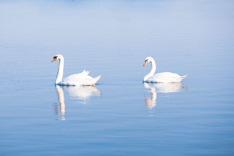 Swan Lake Swan