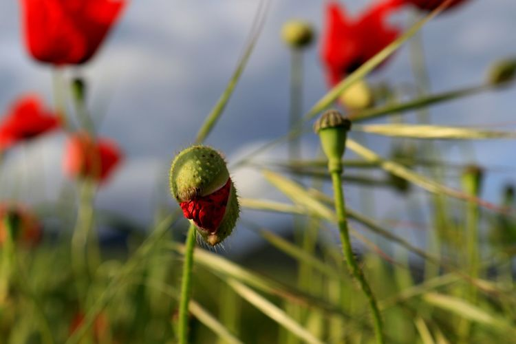 https://youtu.be/_xPz0K_CrgA Silence Of Nature Tranquil Scene Beauty In Nature Love Nature❤ Ears Poppy Buds Sky And Clouds Poppies  Red Close-up Plant Tranquility Flower Head Plant Life Poppy