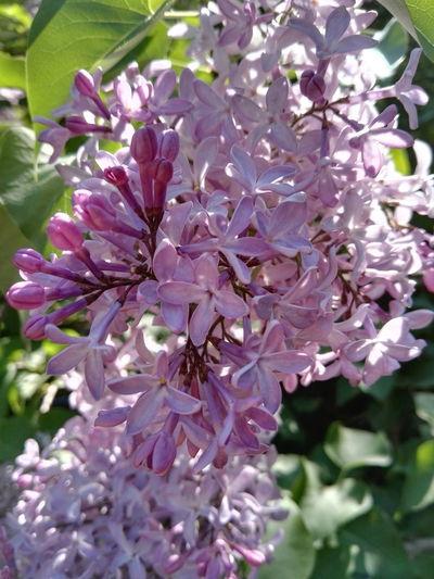 Nature Nature_collection Nature Photography Purple Purple Flower Plant Syringa Syringa Vulgaris