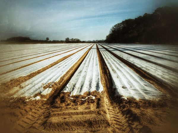 Polythene sheeting used for growing new crops. Lincolnshire, England. Polythene sheeting Sheets sheet Agriculture agricultural Farming farmland Field crop Crops rural Countryside UK England lincolnshire English british