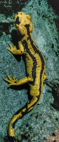 Otra más que quiere entrar Salamandras Eyem Asturias