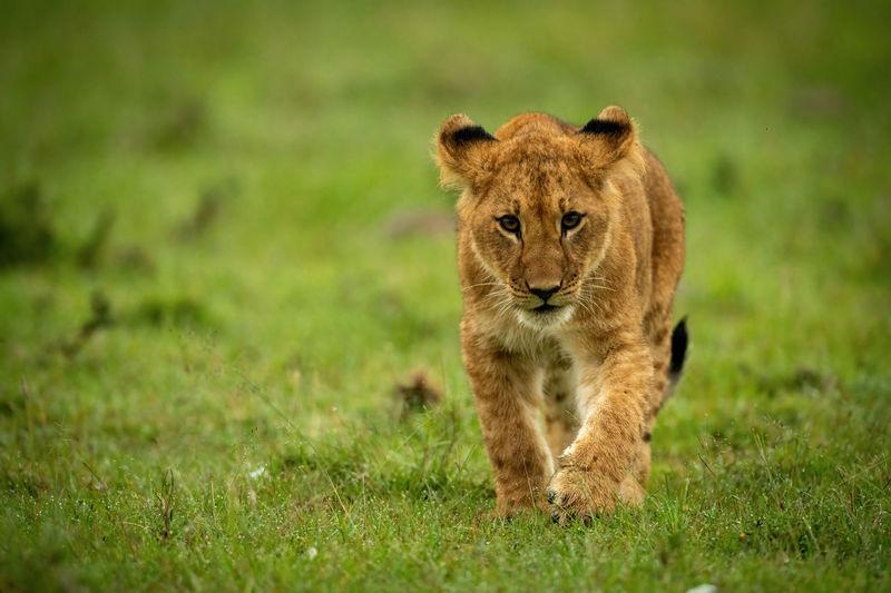 Portrait of a cat walking on grass