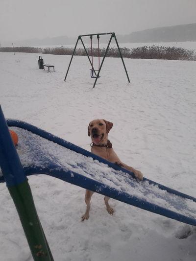 Retriever Snow Cold Temperature Winter Sitting Dog Beagle Friendship Water Outdoor Play Equipment Labrador Retriever