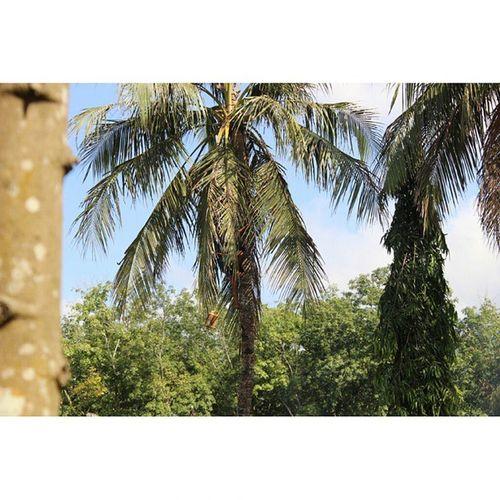 si bapak lagi ambil air legen dari buah kelapa warna kuning. sayang kurang jelas bapaknya gerak turun cepet bgt-_- People Work Pekerjaindonesia Buruh Holiday Sungailembu Perkebunan Banyuwangi Afdelling BUMN Nature Coconuttree Artnature Naturemoment Photowork Photoart Canon600D Nofilter Nusantara INDONESIA