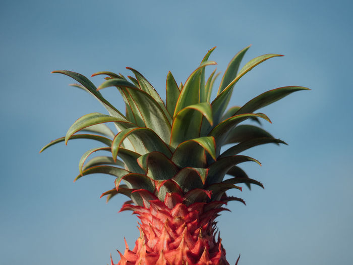 Close-up of pineapple against clear blue sky