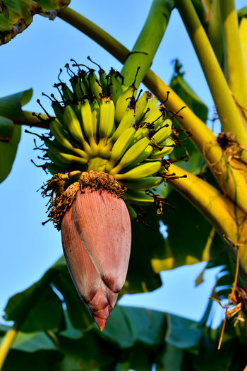Banana plant with fruits Banana Banana Tree Banana Leaf Banana Flower Bananas Banana Fruit Flower Nature Insect Leaf Plant Beauty In Nature No People Low Angle View Flower Head Outdoors Beauty