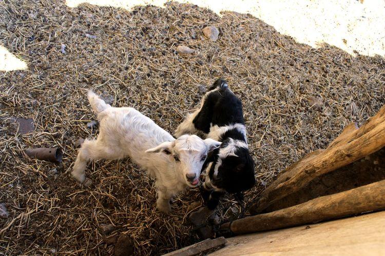 High Angle View Farm Animal Farming Farm Animals Sheep Baby Sheep EyeEmNewHere Fence Pets Two Animals Summer Road Tripping The Traveler - 2018 EyeEm Awards The Great Outdoors - 2018 EyeEm Awards
