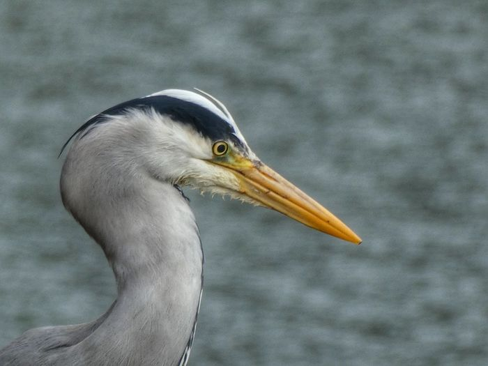 Heron Head Birds Of EyeEm  Heron Stornoway Outer Hebrides Scotland Animal Animal Themes Animal Wildlife Animals In The Wild One Animal Bird Vertebrate Water Animal Body Part Focus On Foreground No People Beak Nature Close-up Side View Day Outdoors Sea Animal Head  Portrait