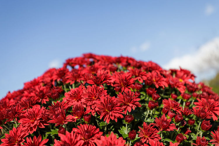 Close-up of red flowering plants against sky