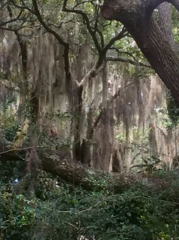 Spanish moss flowing from trees From My Point Of View Spanish Moss Moss On Trees Old Oak Tree Mossy Oaks