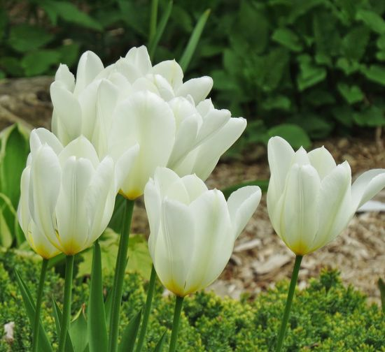 Tulip Botany