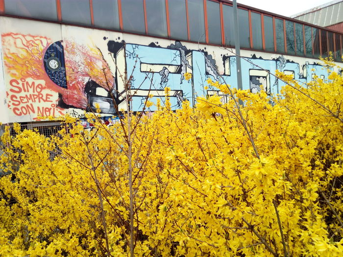 Walking around. Milano Vegetable Streetphotography Street Art Spring Forsizia Gardening Forsythia Yellow Yellow Flower Nature Spray Paint Mural