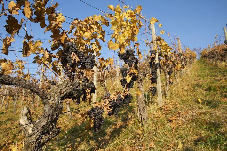 Vineyard Plant