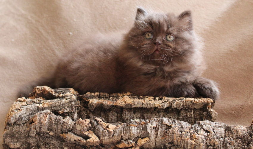 Fluffy kitten looking away while sitting on tree log