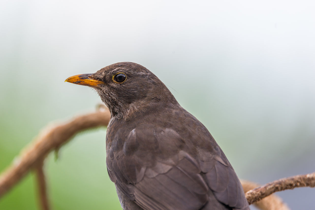 bird, one animal, animal themes, animals in the wild, close-up, focus on foreground, animal wildlife, day, beak, no people, outdoors, nature, perching, bird of prey