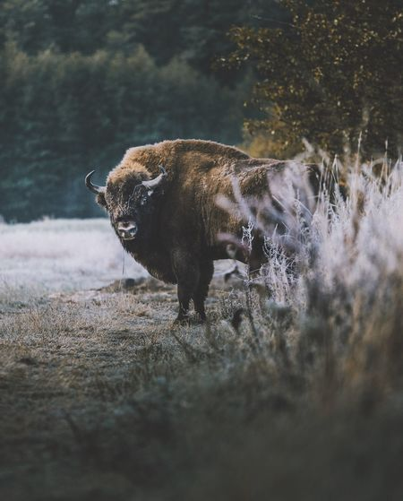 Portrait of american bison standing on land