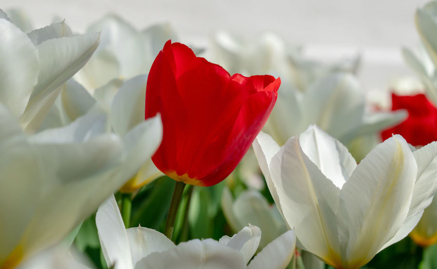 White and red tulips closeup Flower Flowering Plant Beauty In Nature Red Close-up Growth Tulip White Color Nature Selective Focus No People Flower Head Freshness Day Sunshine Tulips Tulips In The Springtime Springtime In Bloom Plant Life