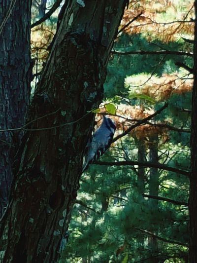 Woodpecker Woodpecker In Tree Woodpecker Bird Woodpecker Making A Hole Woodpeckerphoto Woodpec