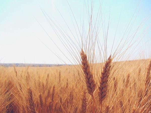 Grain Canada Wheat Field Crop  Agriculture Cereal Plant Ripe Ear Of Wheat Landscape Rye - Grain Rural Scene EyeEmNewHere EyeEmNewHere