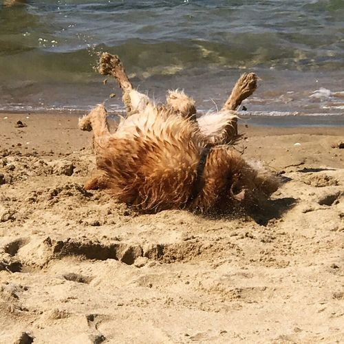 Domestic Animals Dog Water Pets Beach Beauty In Nature