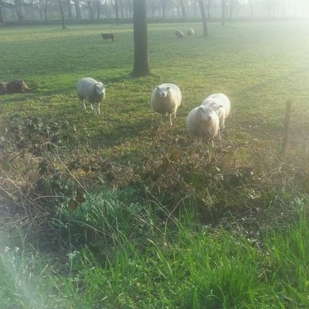 Sheeps Schaap Weiland
