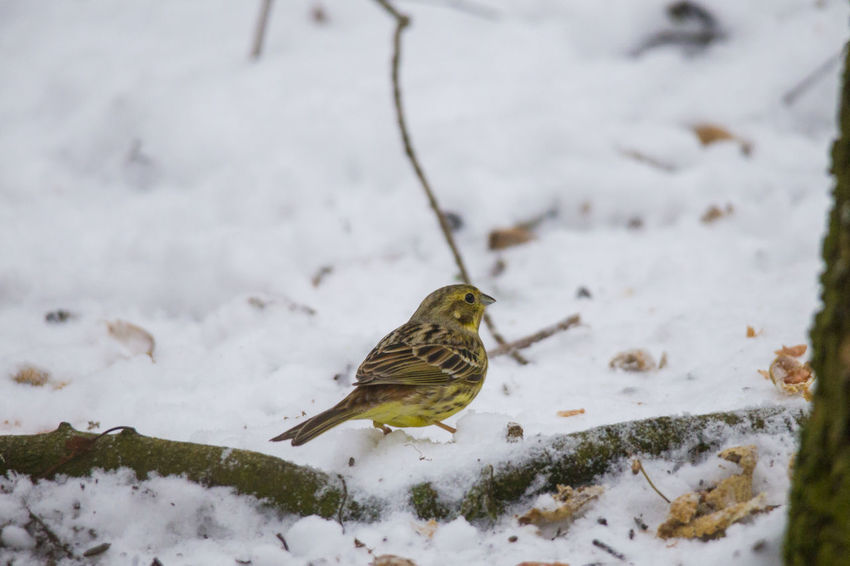 a male yellowhammer sitting in the snow searches for food on the ground in front of a fence Animal Themes Animal Wildlife Animals In The Wild Bird Close-up Cold Temperature Day Nature No People One Animal Outdoors Perching Robin Snow Sparrow Winter