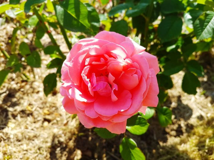 Flower Nature Outdoors Growth Beauty In Nature No People Flower Head Pink Color Freshness