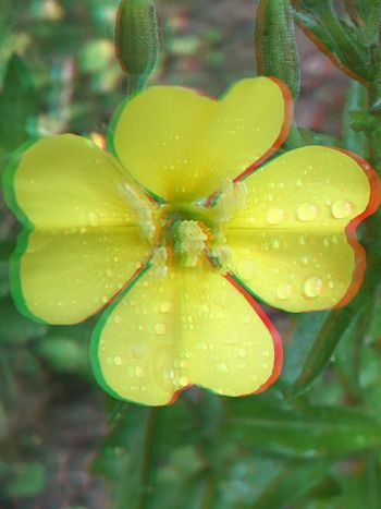 3D-Flower yellow, 3D-effect, 3D, Blume, Blüte, Close-up Plant No People Freshness Yellow Growth Focus On Foreground Nature Wet Beauty In Nature Flower Green Color Flowering Plant Outdoors