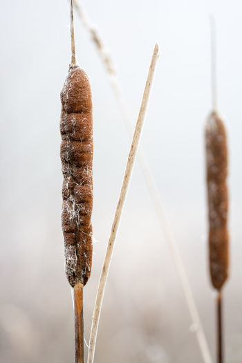 Close-up of cattail in winter