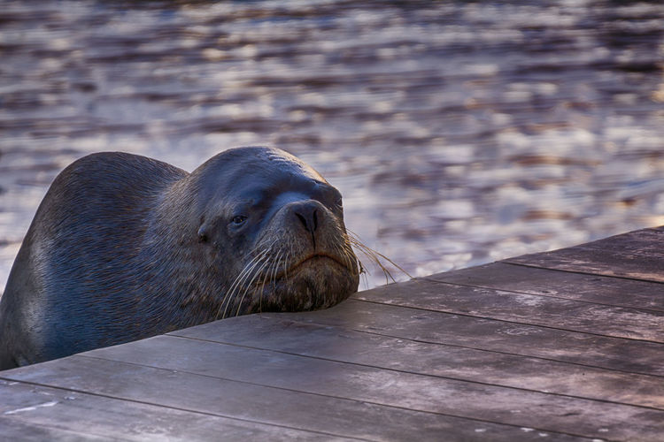 Time to sleep Lobodemar Sealion  Animal Aquatic Mammal Sea Life Sea Lion UnderSea Portrait Seal - Animal Beach Close-up Sleeping Napping