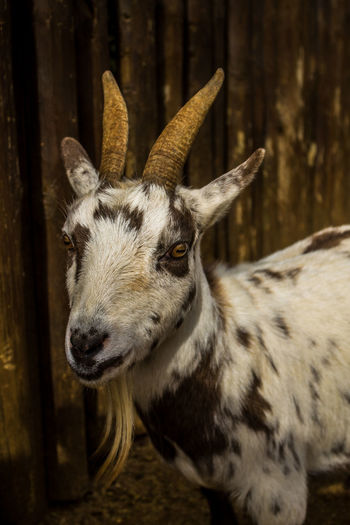 Animal Wildlife One Animal Animals In The Wild No People Antler Portrait Close-up Outdoors Day Animal Themes Mammal Tree Nature Zoo Zoo Photography  Animal Goat Goat Life Confined Space