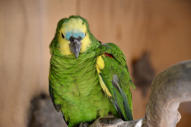 Parrot Animal
