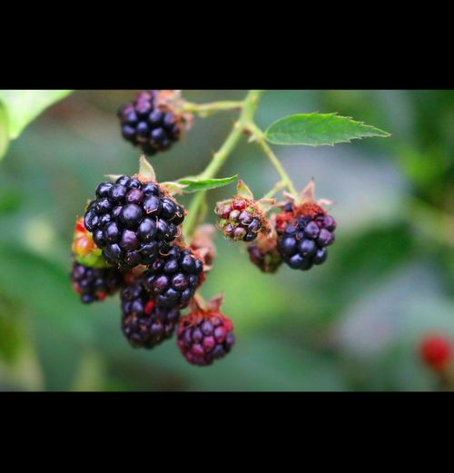 Fruit Freshness Food Growth Close-up Healthy Eating Nature Ripe Juicy Berry Fruit Blue Berry Outdoors Vibrant Colour Nature Freshness