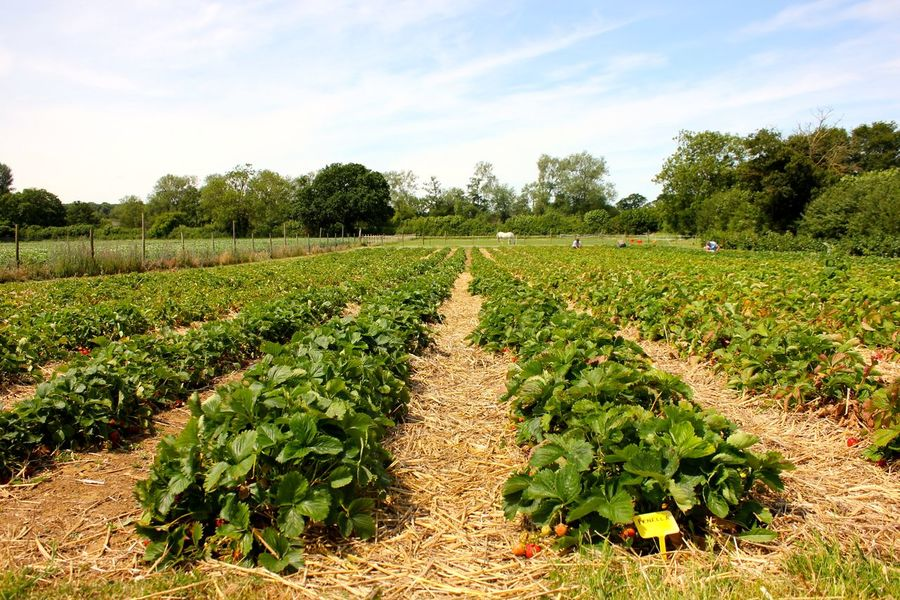 strawberry fields forever Agriculture Beauty In Nature Cloud - Sky Crop  Day Farm Field Freshness Green Color Growth Landscape Nature No People Outdoors Plant Plowed Field Rural Scene Scenics Sky Tranquil Scene Tranquility Tree