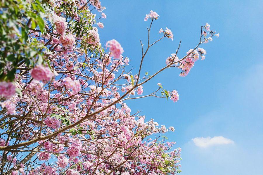 ชมพูพันทิพย์ Flowers Branch Floral Blossom Flower Growth Nature Tree Springtime Freshness Beauty In Nature Close-up Sky Day Low Angle View Almond Tree Tropical Botanical Gardens