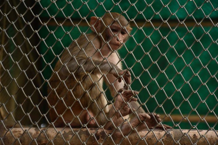 Close-up of monkey sitting next to chain link fence