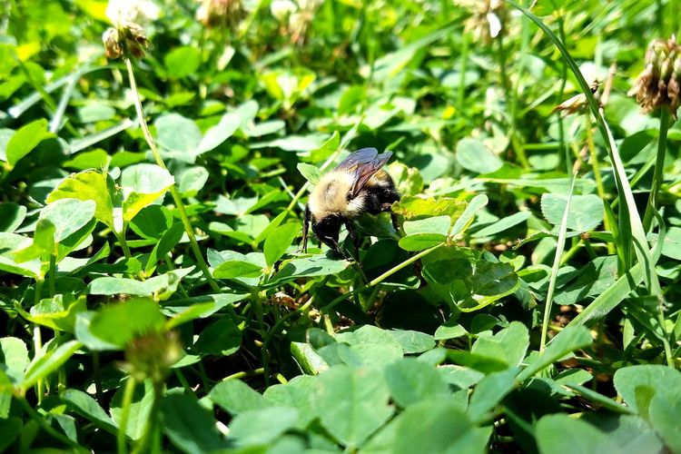 Insect One Animal Animals In The Wild Leaf Green Color No People Plant Nature Outdoors Day Bee Clover Clover Field