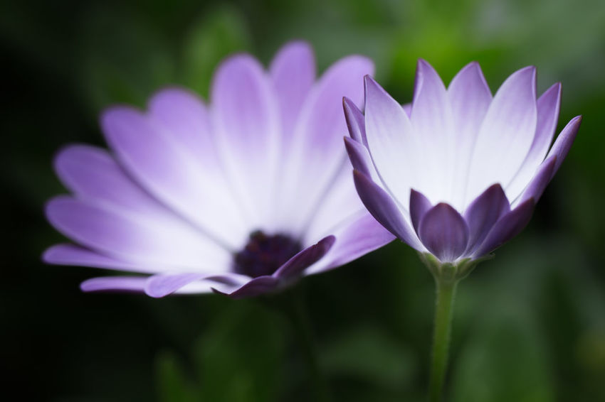 Beauty In Nature Blooming Close-up Crocus Day Flower Flower Head Fragility Freshness Growth Lotus Water Lily Nature No People Nusshain 06 17 Outdoors Petal Plant Purple Two Of A Kind Ultraviolet Color Violet Color